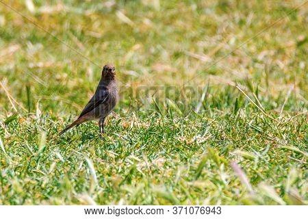 Black Redstarton Grass (phoenicurus Ochruros)wildlife