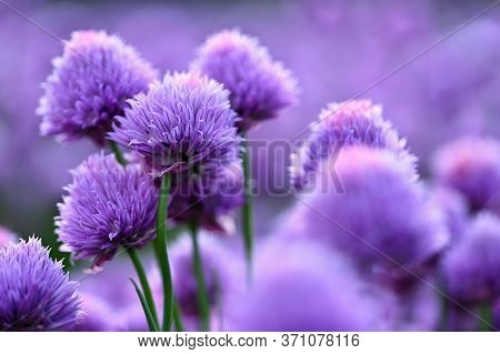 Beautiful Flowering Purple Plant - Chives. Natural Colorful Background In Sunny And Summer Day.(alli
