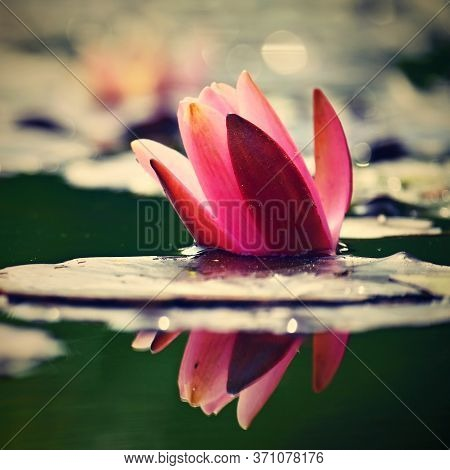 Beautiful Blooming Water Lily Plant. Colorful Nature Background For Massage, Spa And Relaxation.