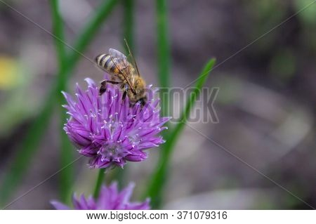 Honey Bee Apis Mellifera On Flower Head Of Garlic (allium Sativum) While Collecting Pollen On Green