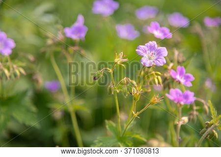 Violet Geranium Sylvaticum Or Woodland Geranium Flowers, Summer Background