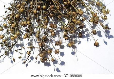 Common Flax Or Linseed Branches With Pods Isolated On White Background, Also Known As Linum Usitatis
