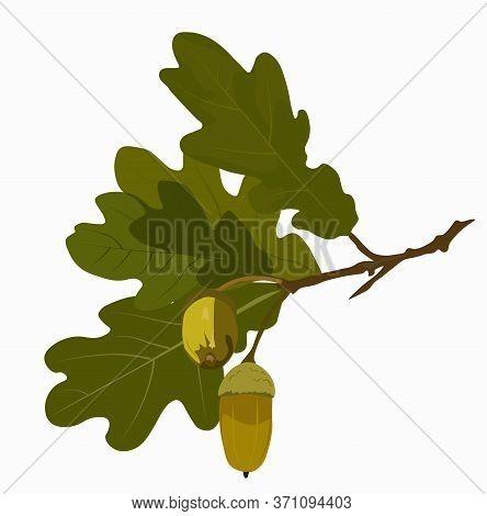 Green Oak Leaves And Acorns. Oak Crown. California Red Oak Branch. Hazelnut Close-up. A Branch Of A