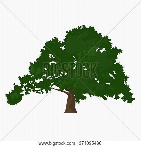 California Red Oak. Vector Stock Illustration Of Oak Crown. Green Leaves And Acorns. Grove. Leaf Cro