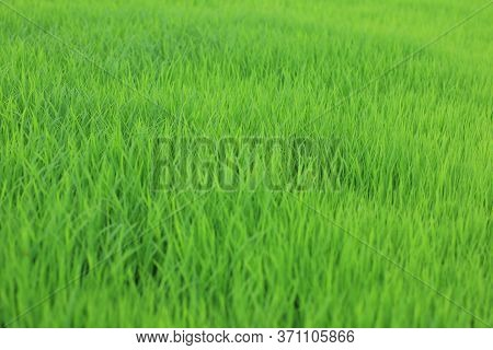 Blurry Young Paddy Seed Growing In Field. Green Grass In The Wind. Fresh Green Grass Background. Gre