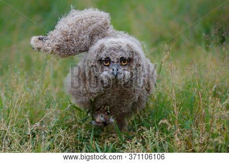 Portrait Of A European Eagle Owl (bubo Bubo) With A Green Meadow In The Backgroufd In Gelderland In