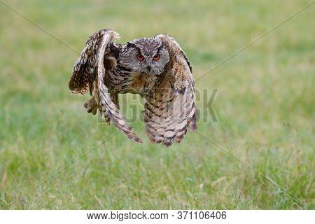 Huge European Eagle Owl (bubo Bubo) Flying Low Over A Meadow In Gelderland In The Netherlands.