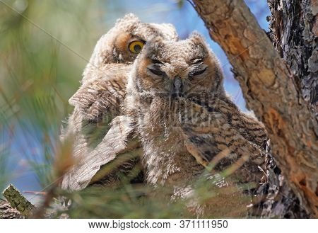 Two Baby Great Horned Owls Cuddle Together On A Branch Of A Large Pine Tree.