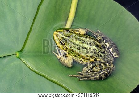 Frog On The Water Plant Leaf In The Pond. Close Up.