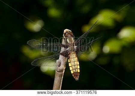 Female Broad Bodied Chaser Dragonfly On Bamboo