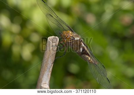 Female Broad Bodied Chaser Dragonfly Grooms Face While Resting On Bamboo,