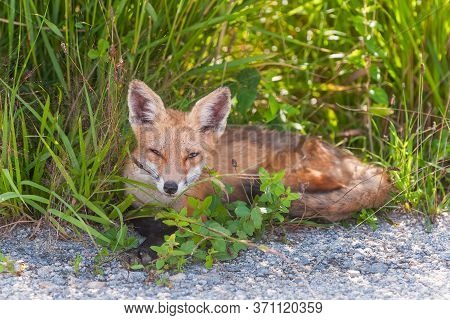 Red Fox (vulpes Vulpes) Resting In The Shadow. Bombay Hook National Wildlife Refuge. Delaware. Usa