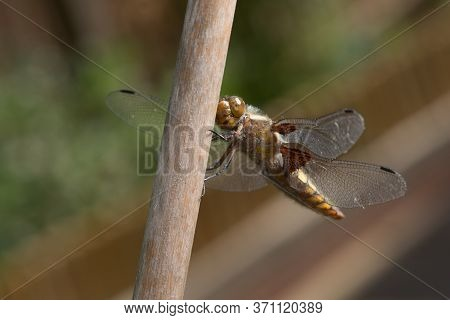 Portrait Of A Female Broad Bodied Chaser Dragonfly, With Particular Focus On The Face.