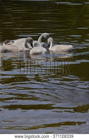 Grey, Furry, Small Baby Swans. Little Swans Are Splashing In The Water. Migratory Bird. Feathery. Cl
