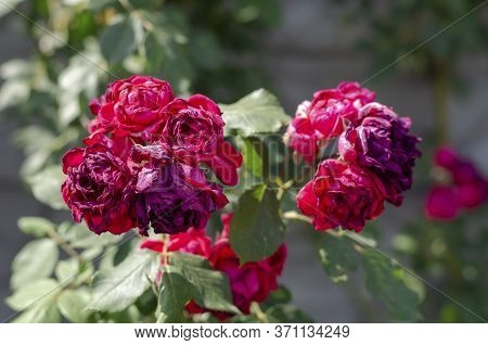 Withered Flowers Of Tea Rose Or Scented Rose In The Sun. Crimson Drooping Buds Of Rosa Odorata. Eye