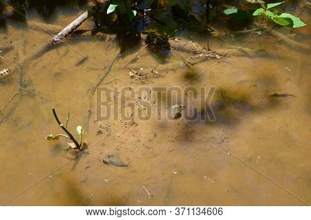 Frog Tadpoles In Muddy Or Murky Water