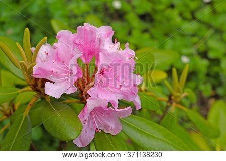 Blooming Rhododendron In The Garden. Close-up Pink Bush Of Evergreen Shrub