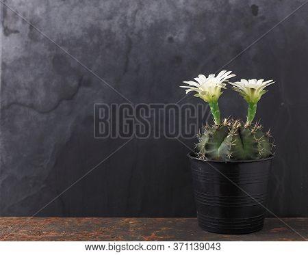Pot Of Gymnocalycium Cactus With White Flowers Against Black