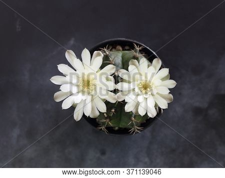 Top View Of  White Cactus Flower Against Black Background