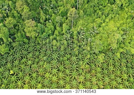 Palm oil plantation and rainforest edge