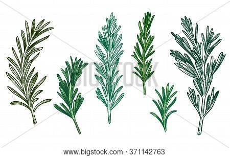 Sketch Rosemary. Fresh Rosemarys Branches With Leaves For Seasoning, Retro Woodcut. Herb Or Plant Fo