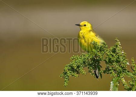 Bird - Citrine Wagtail (motacilla Citreola ) Sitting On A Branch Of A Bush Sunny Summer Morning. Clo