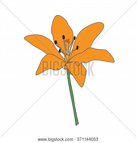 Hand Drawn Lilly Flower Isolated On White. Vector Illustration