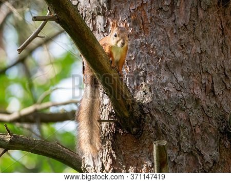 Red Squirrel Sits On A Pine Branch. Her Tail Is Hanging. The Squirrel Is Looking Forward. The Animal