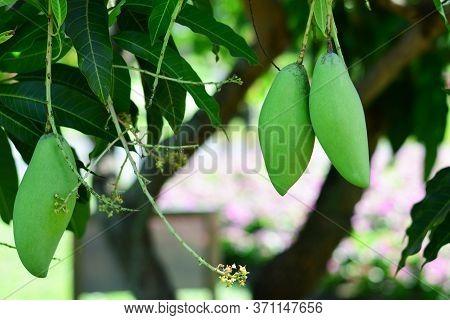 Barracuda Mango On The Tree In The Garden, Fresh Green Barracuda Mango And Leaves, Fresh Green Barra