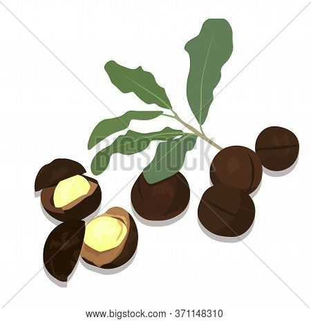 Macadamia Vector Stock Illustration. Whole Kernel Of The Nut. Exotic Dessert. Oil For Aromatherapy.