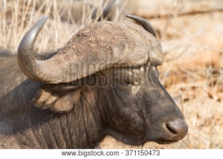 Old Cape Buffalo (syncerus Caffer) Profile Closeup With Powerful Horns In Kruger, South Africa With
