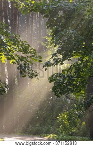 Rays Of Sunlight Break Through The Leaves In The Forest After Rain, The Evaporation Of Moisture In T