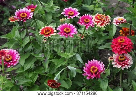 Pink Zinnia Plants In Full Bloom In The Summer Months