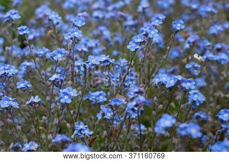 Small Blue Flowers Called, Field Forget-me-nots Botanical Name Myosotis Arvensis A Species Of Forget