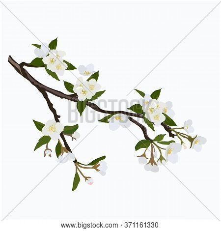 Vector Stock Illustration Of A Spring Branch Of Jasmine. The Cherry Blossoms. White Apricot Flowers.