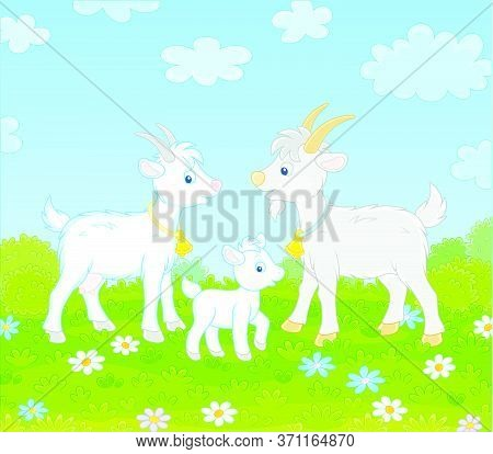 Small White Kid With A Nanny Goat And A Grey He-goat Walking On Green Grass Of A Pretty Summer Field
