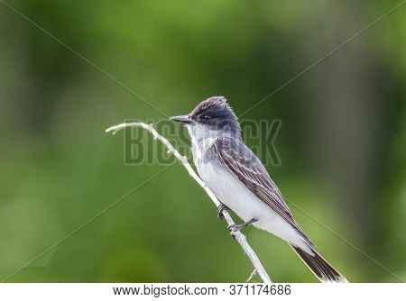 Eastern Kingbird, Tyrannus Tyrannus, Perched On Gray Branched Against Vivid Clean Green Background