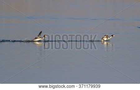 Great-crested Grebe, Podiceps Cristatus. Early Morning On The River, The Birds Run Over Water.