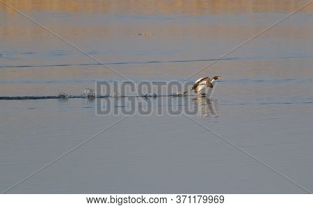 Great-crested Grebe, Podiceps Cristatus. Early Morning On The River, A Bird Runs On The Water.