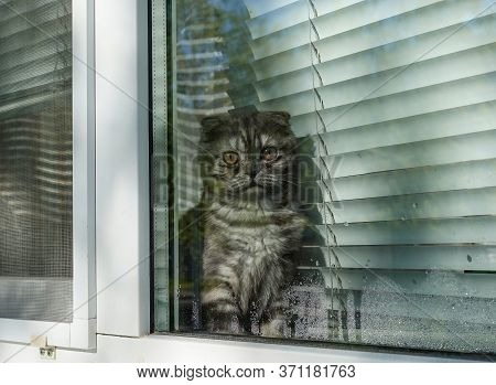 Scottish Fold Cat Outside The Window. Looking Outside