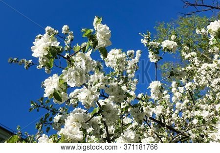 Blooming Fruit Tree With Large White Flowers Against A Blue Sky