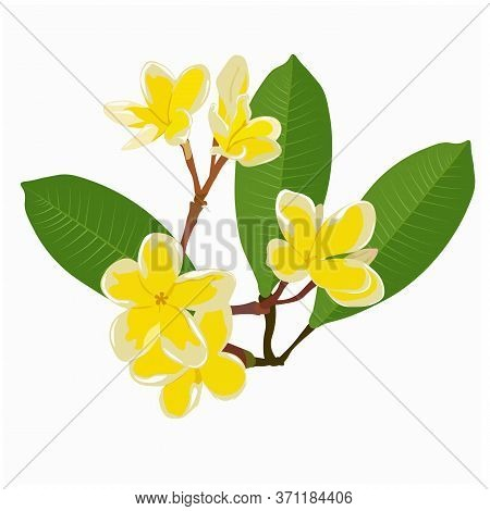Frangipani Flowers Hand Drawn Ink Illustration. Vector Black And White Drawing Of Plumeria Flowers W