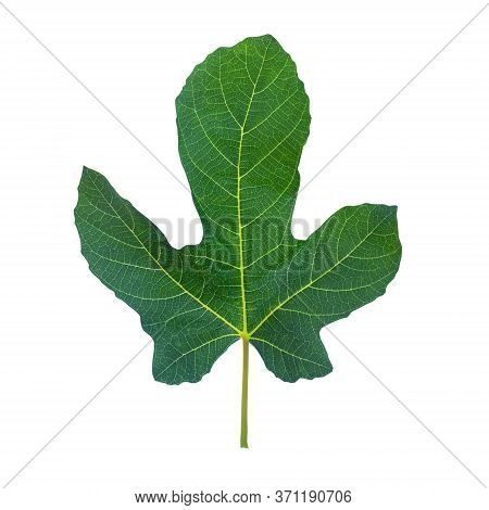Fig Leaf. Green Leaf Of Fig Tree Isolated On White Background