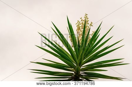 Agave Angustifolia Is A Sculptural Plant Very Adapted To Drought. Its Leaves Are Long, Sword-shaped,