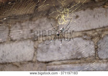 Close Up Of Nephila Pilipes Or Golden Orb-web Spider. Giant Banana Spider On Her Network. Macro Clos