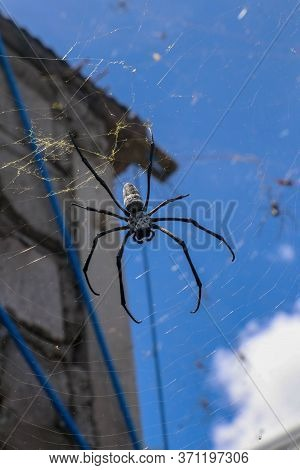Close Up Of Big Spiders On Spider Nets Between Walls And Roofs Of Houses On Bali Island. Against The