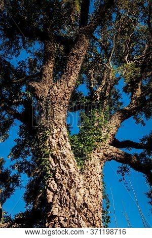 Cork Oak Along The Path In Castagneto Carducci, In The Heart Of The Maremma Of Livorno, In The Cente