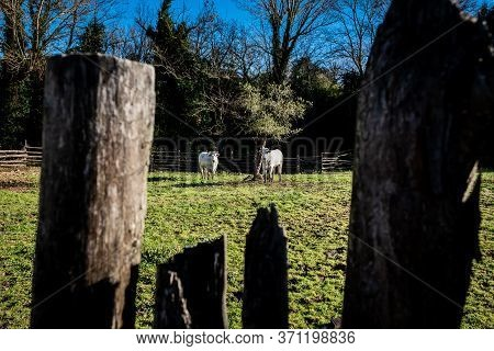 Herd Of Cows Near Castagneto Carducci, In The Heart Of The Livorno Maremma, In The Center Of The Etr