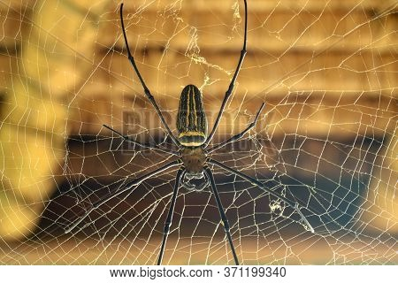 Nephila Pilipes Or Golden Orb-web Spider. Giant Banana Spider Is Waiting For His Victim. Macro Close