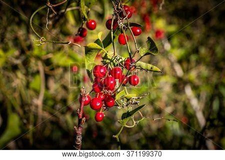 Red Berries Of The Salsa Pariglia Plant Near Castagneto Carducci, In The Heart Of The Maremma Of Liv
